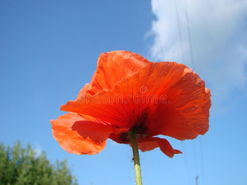 Red poppy flowers against sky. Shallow depth of field. Red poppy flowers against the sky. Shallow depth of field stock image