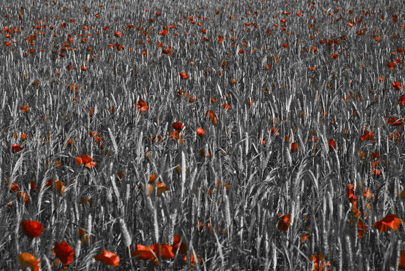 Download Red Poppy Flowers As An Accent In A Grain Field Stock Image - Image of flowers, flower: 17739545