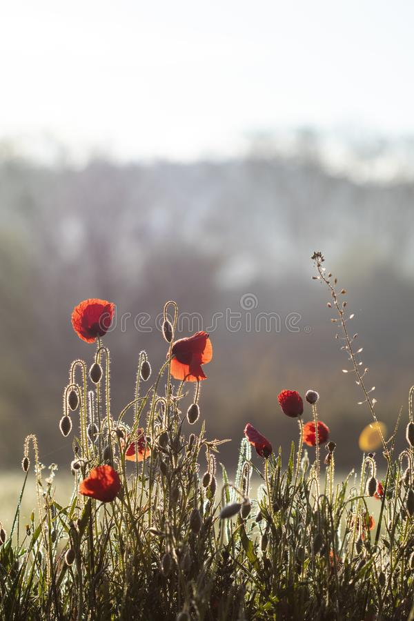 Red poppy flowers in bloom backlit on a meadow landscape. On a smooth sunrise light royalty free stock photography