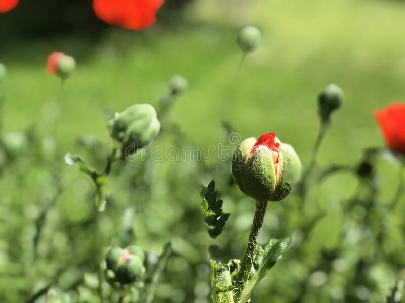 Red poppy flowers blooming in Swiss stock photo