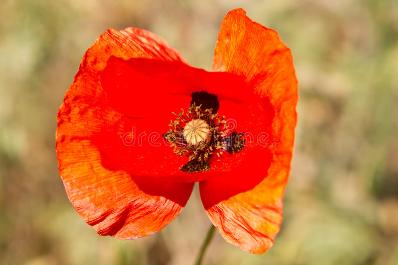 Download Red poppy flowers stock image. Image of flower, background - 41329555