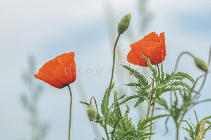 Red poppy flowers field close up. Beautiful nature scene with blooming wild poppy. Beautiful nature background toned with soft royalty free stock images