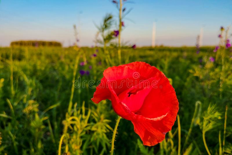 Red poppy flowers field, close up, nature. Red poppy flowers field, close up stock images
