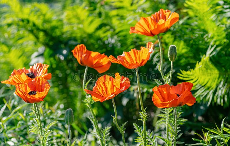 Red poppy flowers at the garden plot. Shallow depth of field stock images