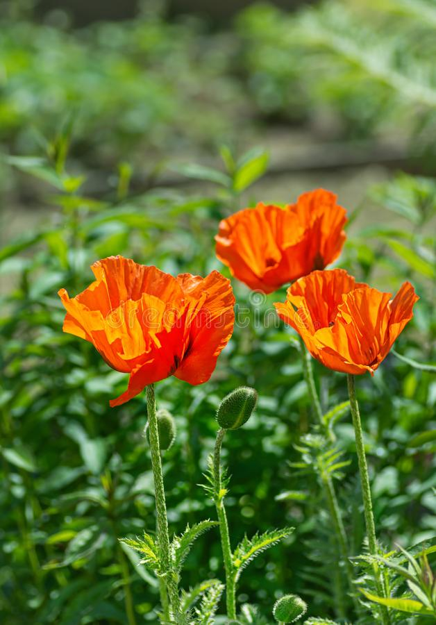 Red poppy flowers at the garden plot. Shallow depth of field royalty free stock photo