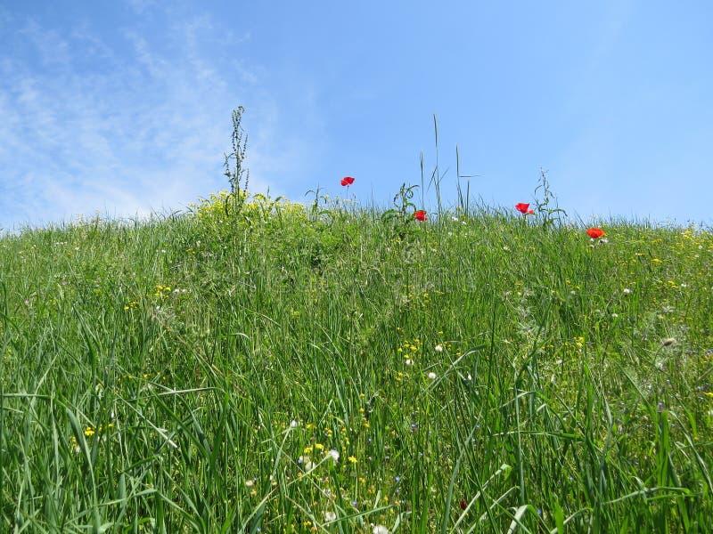 Red poppy flowers in spring meadow. Red poppy flowers in juicy spring meadow stock photography