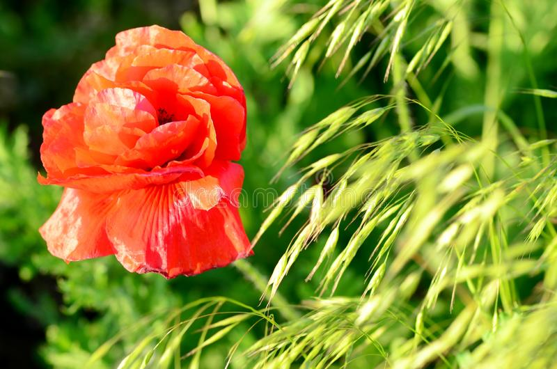Red poppy flowers in a summer meadow, backlit picture of the setting sun.  royalty free stock image