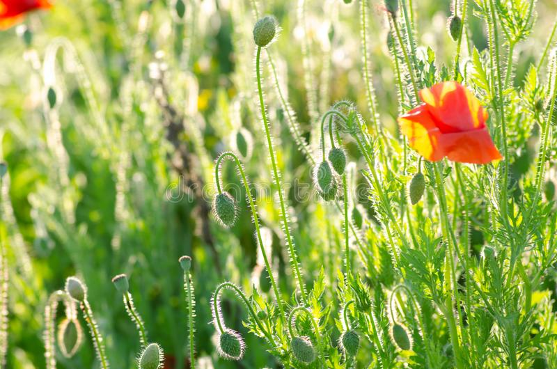 Red poppy flowers in a summer meadow, backlit picture of the setting sun.  stock photo