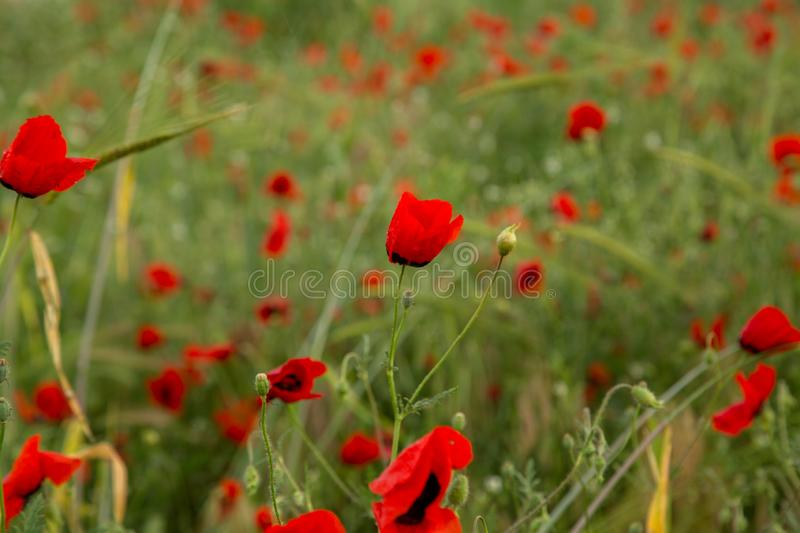 Red poppy flowers under the rain. shallow depth of field. selective focus royalty free stock photography