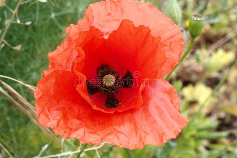Red poppy foreground stock photo