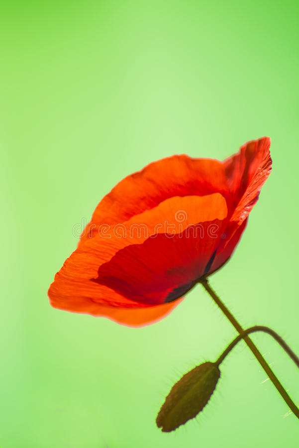 Download Red Poppy Stock Photo - Image: 31806900
