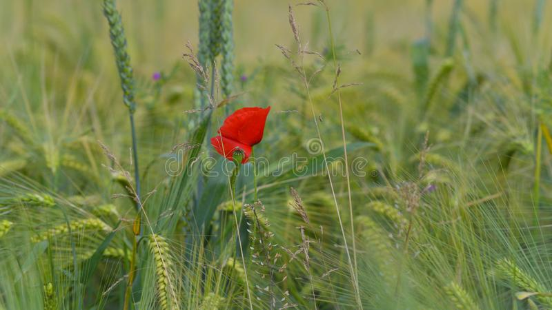 Red poppy in green wheat field royalty free stock photos