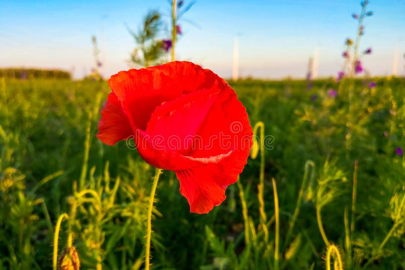 Red poppy in a green wheat field with sun rays. stock image