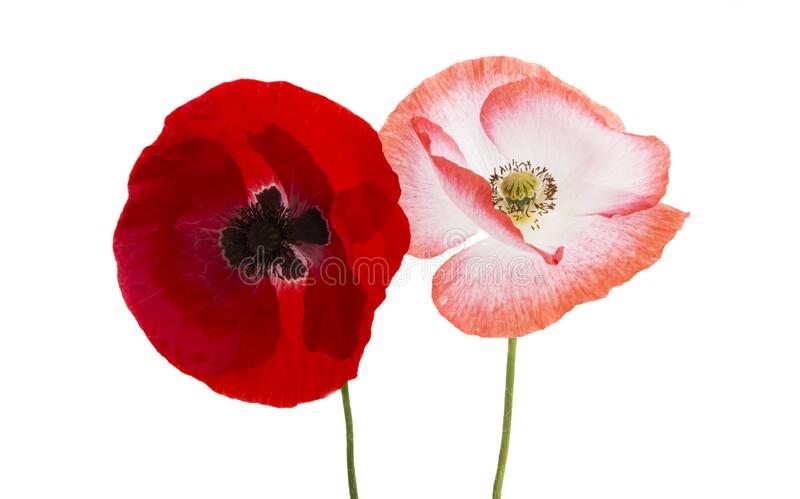 Red poppy isolated royalty free stock photos