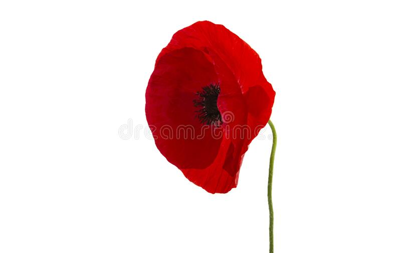 Red poppy isolated stock photography