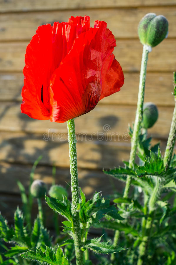 Red poppy. royalty free stock image