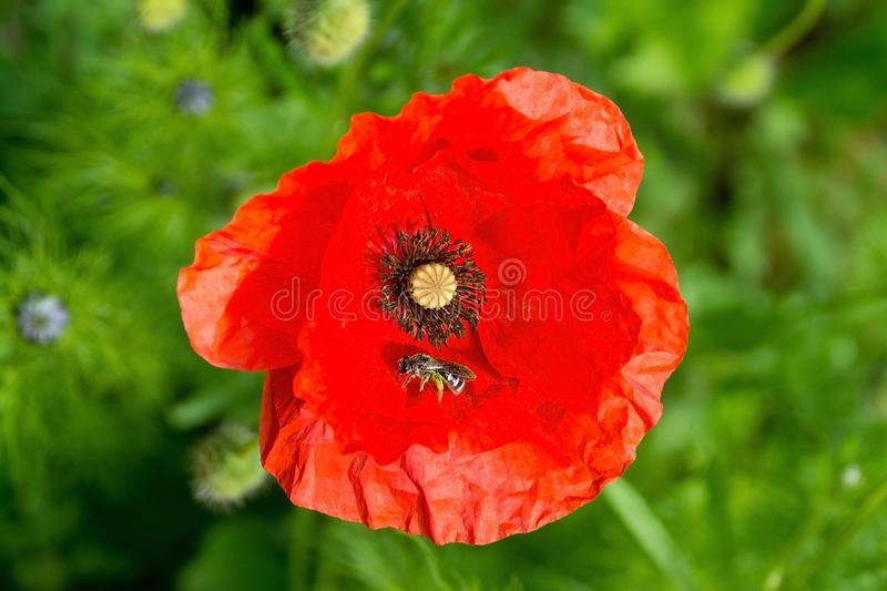 Red Poppy and Little Bee. A red poppy and little bee in sunlight with various grasses and other plants including Nigella buds in the background. Photographed in royalty free stock images
