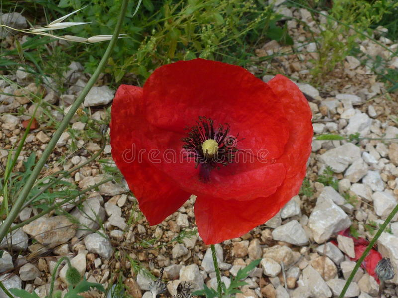 Red Poppy royalty free stock photos