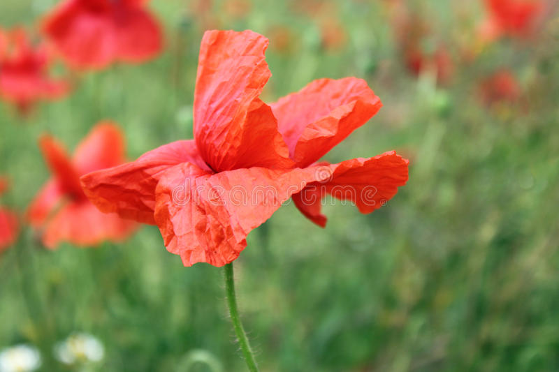 Download Red poppy on meadow stock image. Image of close, petals - 30324295