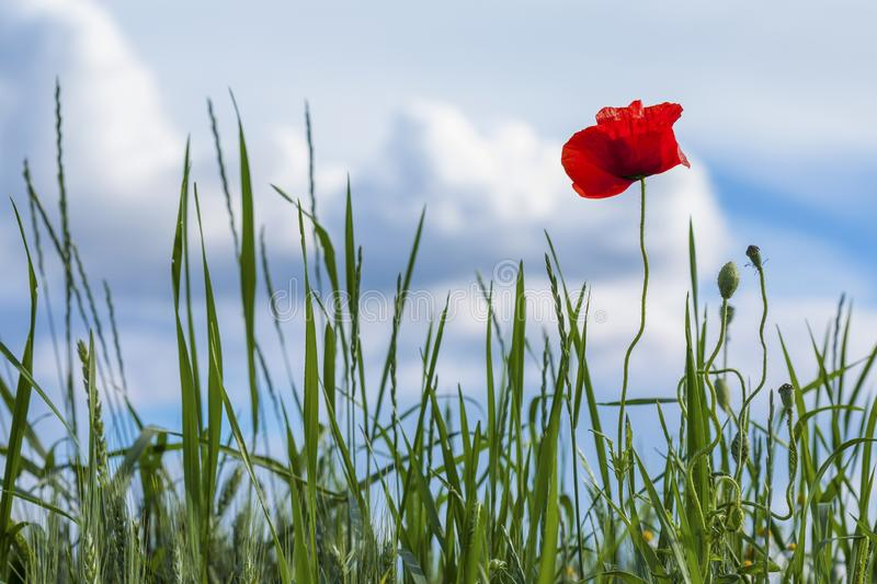 Red Poppy on a medow. Poppy in a meadow on a sunny day of spring royalty free stock photo