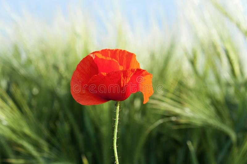 Red Poppy on a medow. Poppy in a meadow on a sunny day of spring stock photos