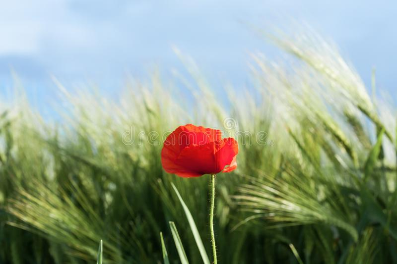 Red Poppy on a medow. Poppy in a meadow on a sunny day of spring stock photography