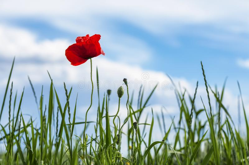 Red Poppy on a medow. Poppy in a meadow on a sunny day of spring stock image