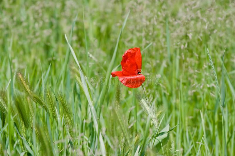 Red poppy in the middle on the field with green wheat ears stock image