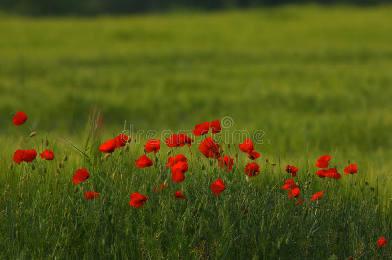 Download Red Poppy Papaver Rheas Field Profiled On Green Royalty Free Stock Photography - Image: 10478207