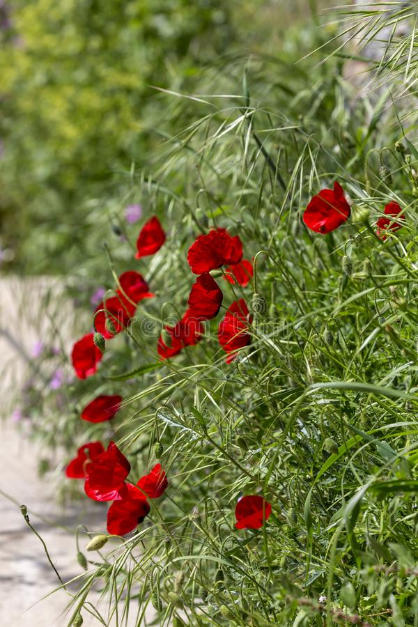 The red poppy Papaver rhoeas with buds close-up. Red poppy Papaver rhoeas is grows along the path on a sunny, spring day close-up stock photo