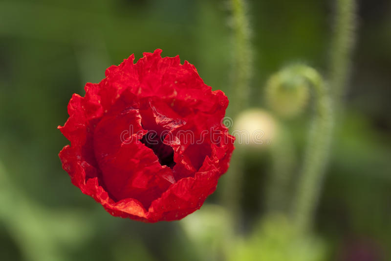 Download Red poppy stock photo. Image of background, flower, poppy - 31779236