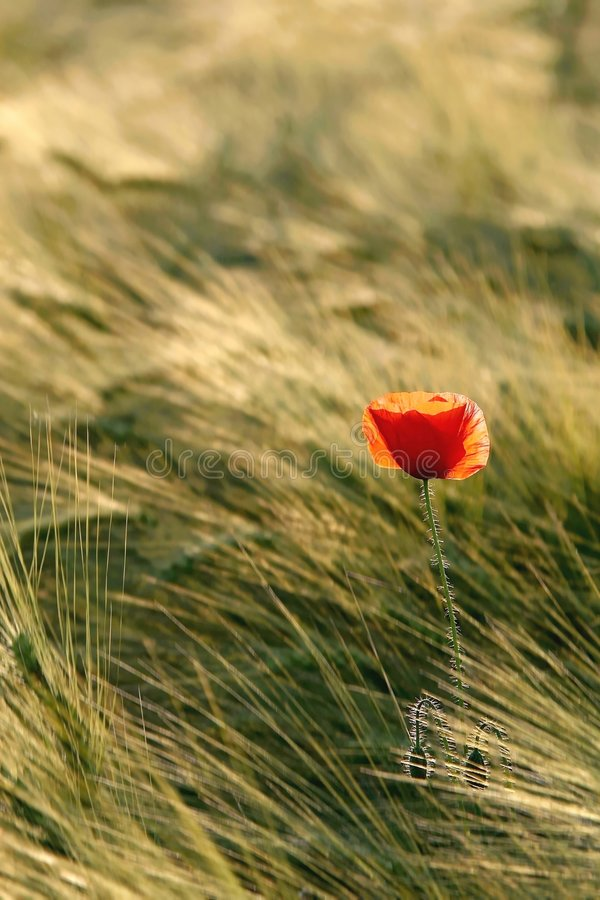Download Red Poppy In Summer Sunshine Royalty Free Stock Photo - Image: 7722415