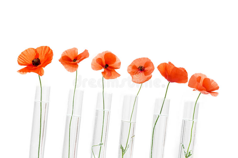 Red Poppy in test tube for herbal medicine and essential oil on wooden background. The concept of herbal medine and royalty free stock photography