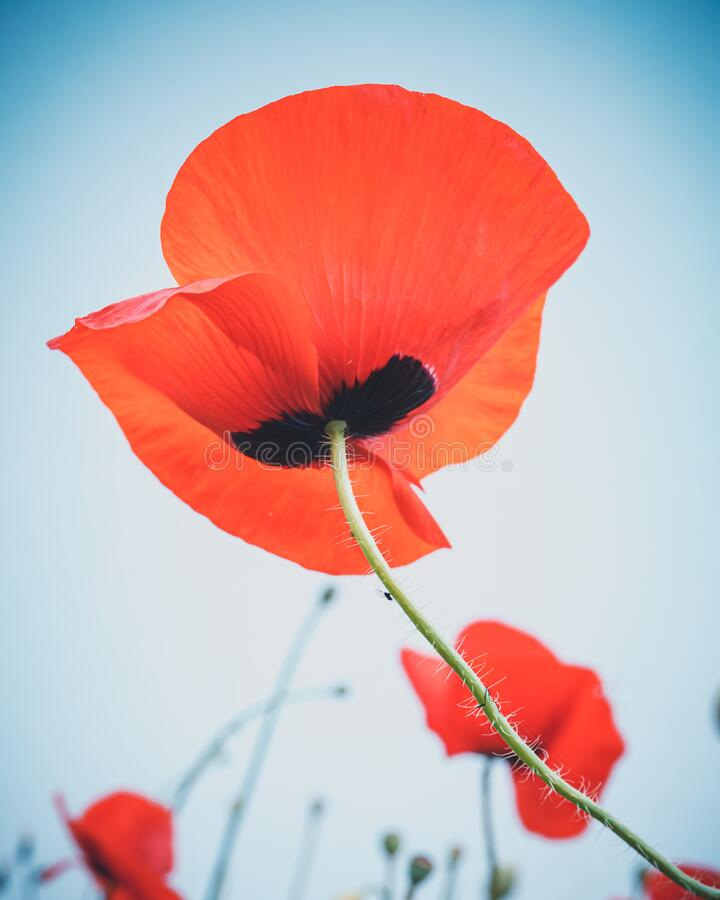 Red poppy view from below. Sky is light blue stock photos