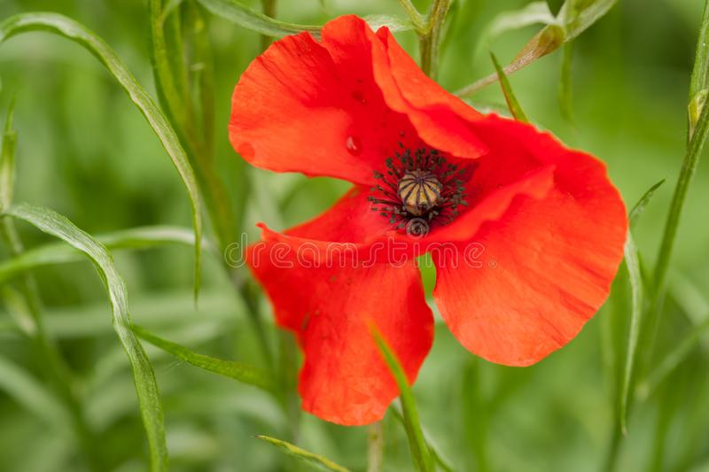 Red Poppy - View from Top. Frontal view portrait of a red poppy flower in full bloom on a green background royalty free stock photos