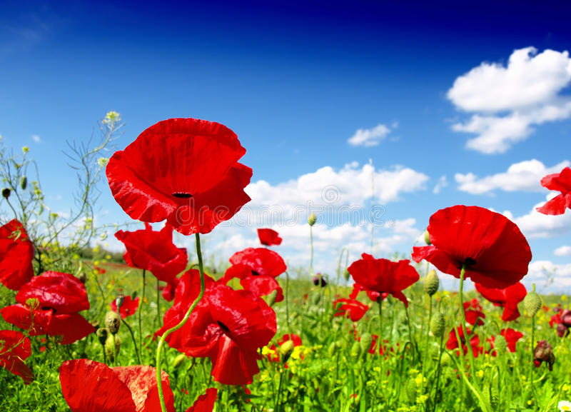 Red poppy and wild flowers. In nature royalty free stock image