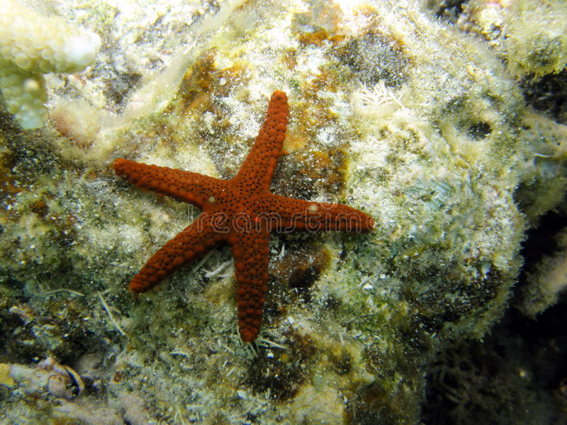 Red Porous or Marble Star Fish on Coral Reef royalty free stock photos