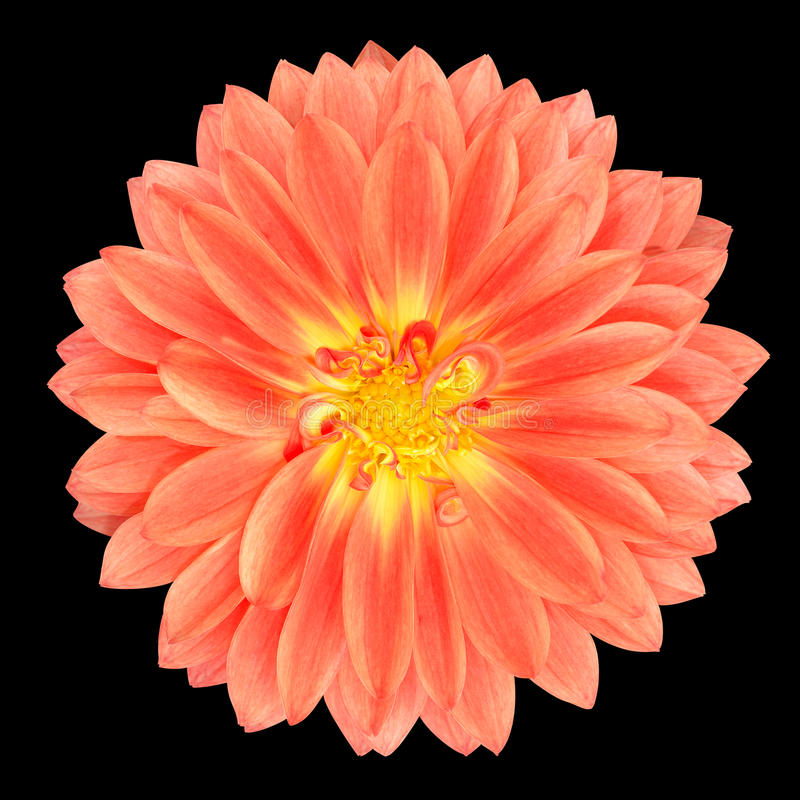 Red Pot Marigold Gerbera Flower Isolated on Black. Light Red Pot Marigold Gerbera Flower Isolated on Black Background royalty free stock photo