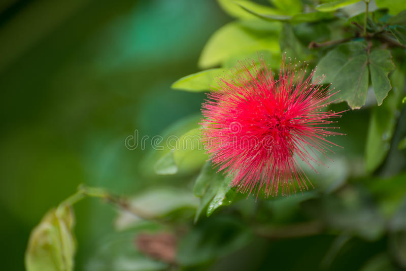 Red Powderpuff Flower Close Up Royalty Free Stock Images