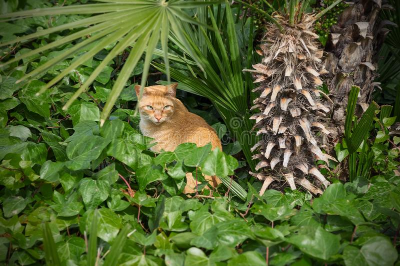 Red predatory cat hiding in the jungle. Predators life. stock photo