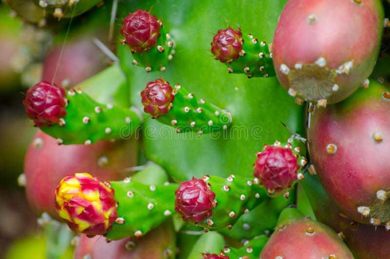 Red Prickly Pear Cactus Fruit in a tropical botanic garden. stock image