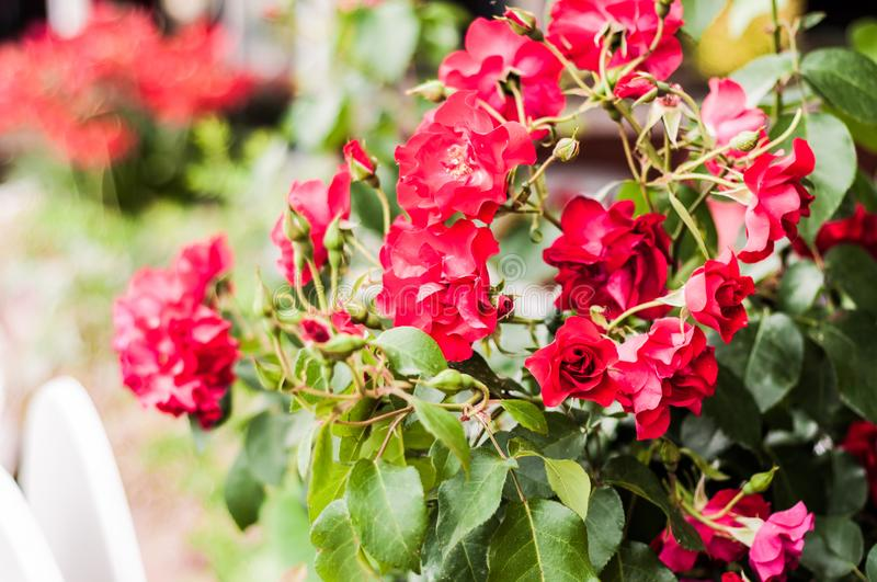 Red Prime Roses With Soft Focus Background. Red prime roses with green leafs surroundings in a relatively cloudy day of the summer nearby the Marmara region of stock photos