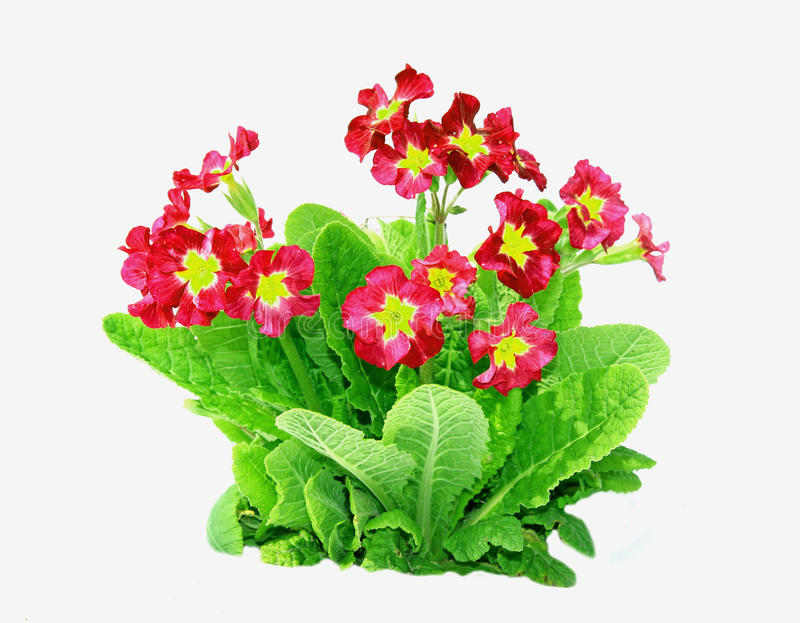 Red primrose flowers isolated royalty free stock photography