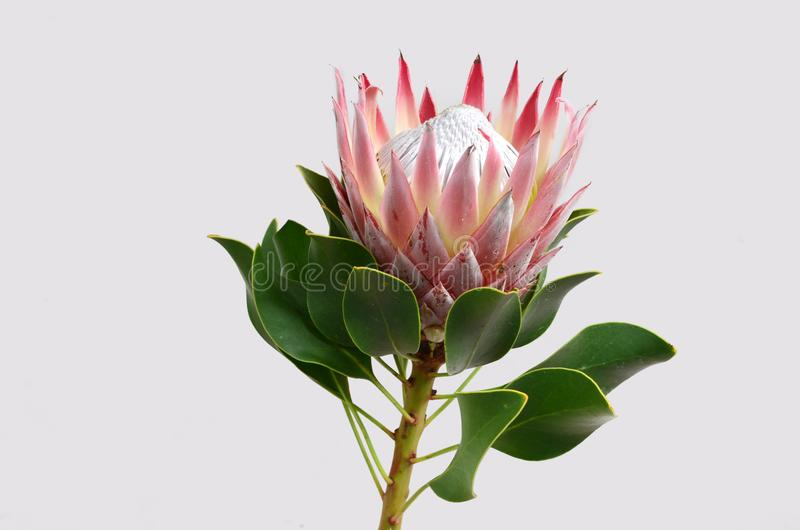 Red protea flower for background. Red protea flower on black background with copy space for text stock photography