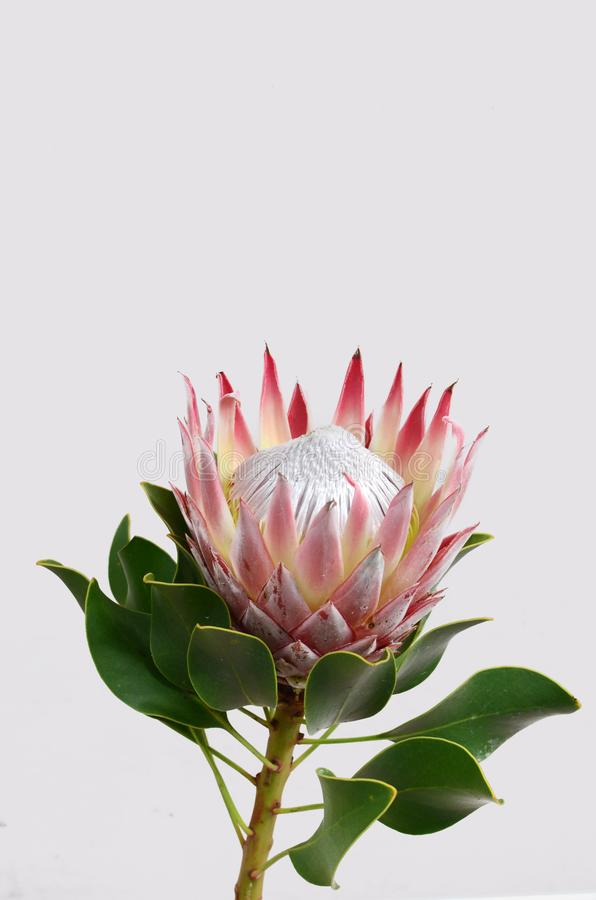 Free Red Protea Flower For Background Stock Images - 124035714