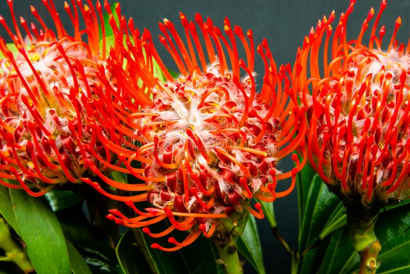 Red Protea flowers in the black background royalty free stock images