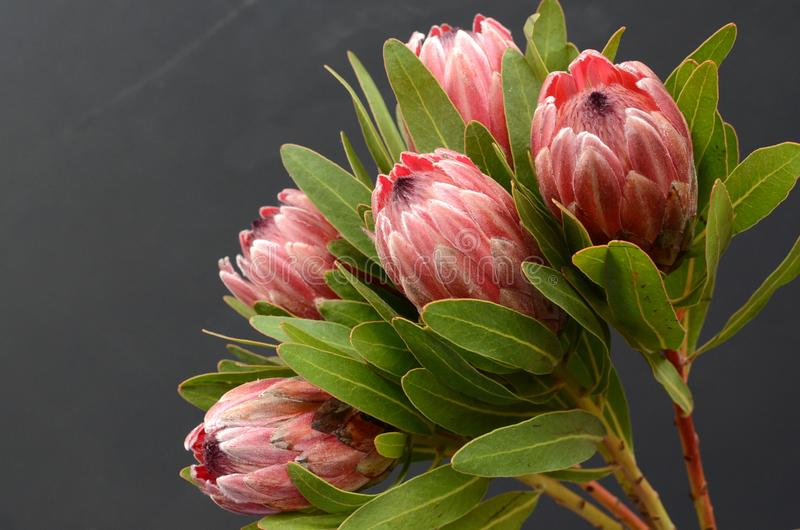 Red Protea plant on black background royalty free stock image