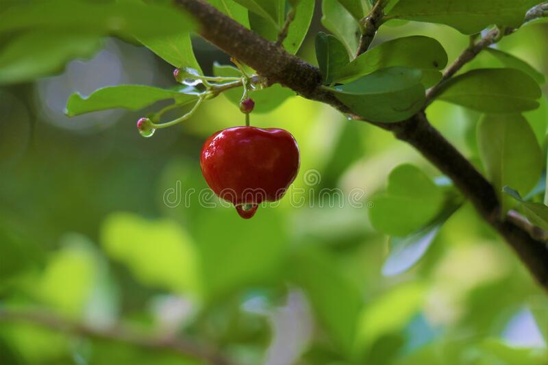 Red, pulpy and juicy, west indies cherry hanging on the branch of a plant. Red, pulpy and juicy, west indies cherry with raindrops on it hanging on the branch stock photo