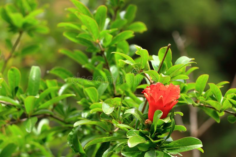 Red Punica granatum flowers on tree, pomegranate blossom in Crete in Greece. Red Punica granatum flowers on tree, pomegranate blossom, Greece, Crete royalty free stock photo