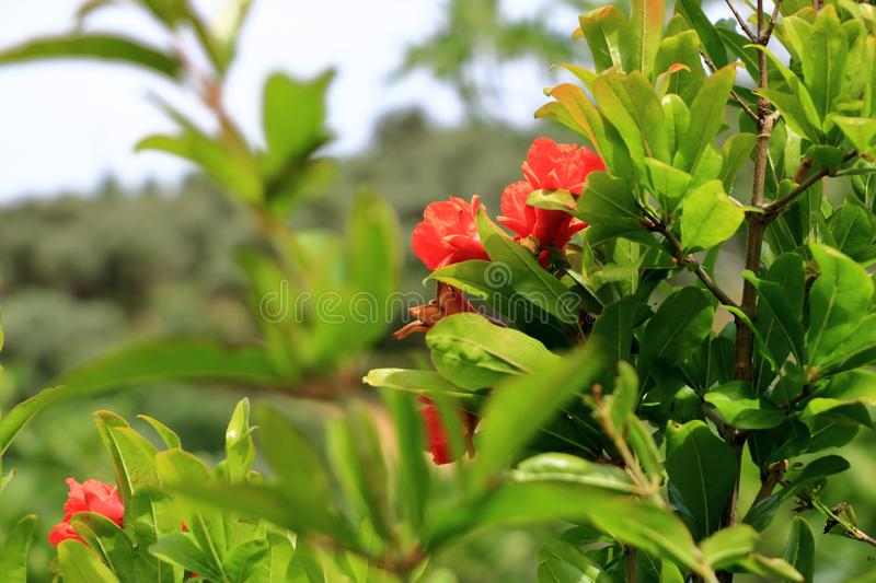 Red Punica granatum flowers on tree, pomegranate blossom in Crete in Greece. Red Punica granatum flowers on tree, pomegranate blossom, Greece, Crete stock photos